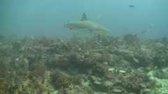 Blacktip Reef Sharks multiple - stock footage