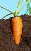 Big carrot growing in soil Stock Photos