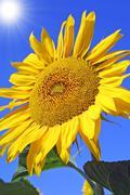Sunflower with blue sky and sunburst - stock photo