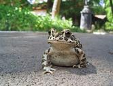 Stock Photo of European green toad
