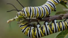 Monarch Butterfly caterpillars eating milkweed Stock Footage