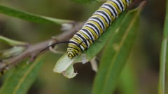 Monarch Caterpillar On Milk Weed Plant Rotating while moving Stock Footage