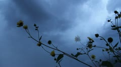 Sunflowers in front of a dark sky of clouds 1 Stock Footage
