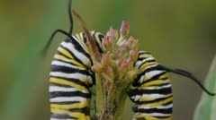 Two Monarch Caterpillars On Milk Weed Plant Stock Footage