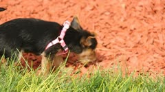 Cute puppy dog playing in the grass 11 - stock footage