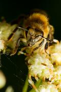 Harvester Bee Collecting Pollen 2 1 Life Size Macro - stock photo
