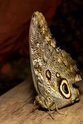 Owl Butterfly Lat Caligo Eurilochus Resting On A Branch Stock Photos