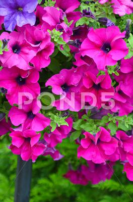 Stock photo of beautiful pink petunias