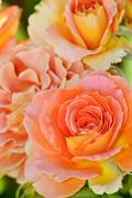 orange hybrid tea rose - stock photo