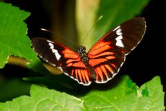 Stock Photo of Postman Butterfly Heliconius Melpomene Macro Shot Orange White Black