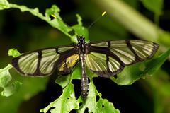 Metona Grandiosa Rare Ecuadorian Endemic Species Shot Near Mindo City Stock Photos