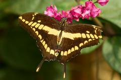 A Swallowtail Butterfly Seeks Nectar From A Pretty Flower Stock Photos