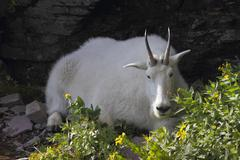 Resting Mountain goat - stock photo