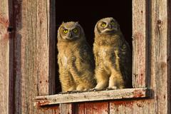 Young Owls - stock photo
