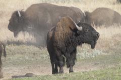 MG 3341 bison bull Yellowstone.jpg Stock Photos