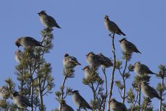 Ceder waxwings in tree Stock Photos
