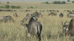 a starling on the back of a gnu - stock footage