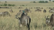 Stock Video Footage of a starling on the back of a gnu