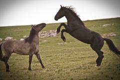 Wild Stallions - stock photo