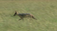 Black backed jackal and the vultures 2 Stock Footage