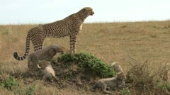 Cheetah mother and her cubs Stock Footage