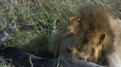 Male lion and prey Stock Footage