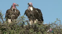 Lappet faced vultures and a lillac breated roller zoom back Stock Footage