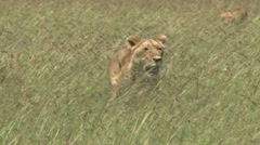 Lioness in the middle of grassy plains 2 Stock Footage
