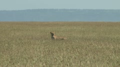 Lioness in the middle of grassy plains Stock Footage