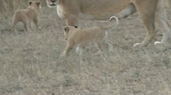 Lioness licks her baby Stock Footage