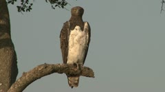 Martial eagle on an acacia tree in mara Stock Footage