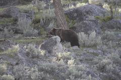 Grizzly Bear Kuvituskuvat