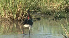 Saddle bill stork fishing 2 Stock Footage