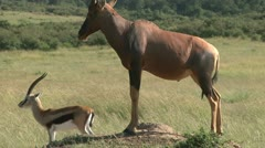 Topi and gazelle on an anthill Stock Footage