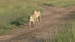 Two brother cheetahs walking on a road in the bush Stock Footage