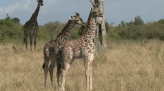Two young giraffes Stock Footage
