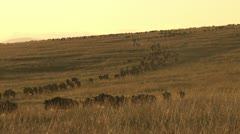 Wildebeests walking down a steep hill Stock Footage