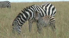 zebra with a baby 2 - stock footage