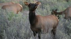 Wild cow elk - stock footage