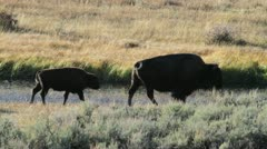 Wild bison Stock Footage