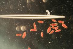 Animal  conjugation of paramecium caudatum Stock Photos