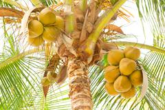 Coconut Tree With Ripped Fruits Stock Photos