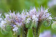 Stock Photo of detail of purple lucerne