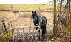 skinny horse outside in fenced yard area - stock photo