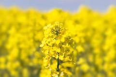 Stock Photo of close up of a rape field