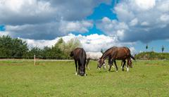 grazing horses on grass field - stock photo