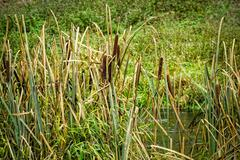 Reeds at the pond Stock Photos