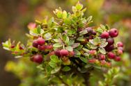 Red Huckleberries Cluster Shot In Natural Environment Stock Photos