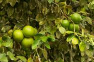 Piles Of Ripped Pomelo Fruit In The Tree Stock Photos