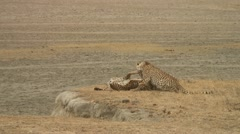 Young Cheetahs Stock Footage